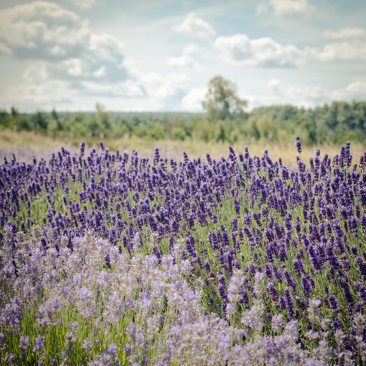 August Wolds Way Lavender North Yorkshire-270
