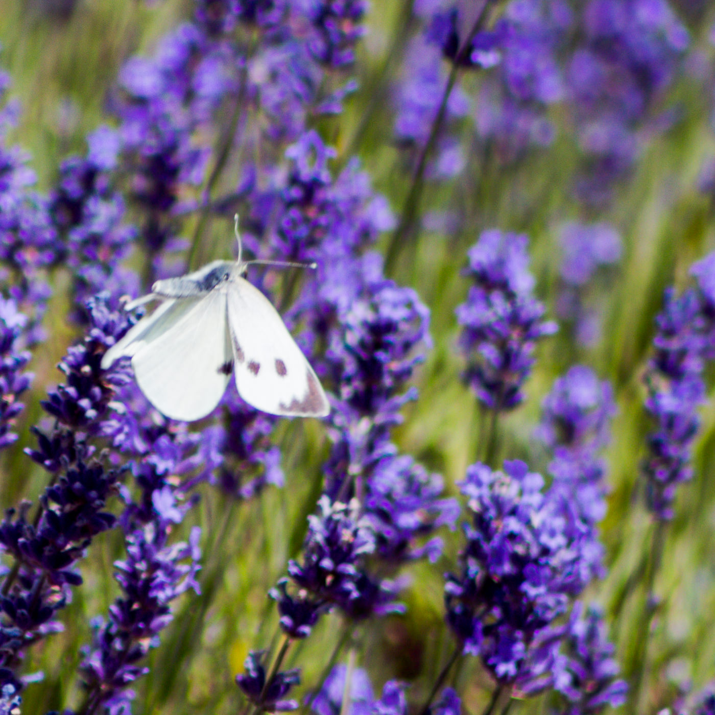 August Wolds Way Lavender North Yorkshire-312